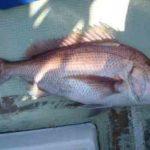 タイラバサビキの仕掛けと釣り方