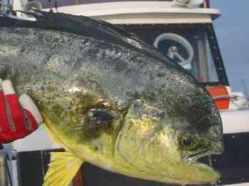 シイラ釣りの時期・時間帯