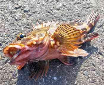 カサゴ釣りの時期・時間帯