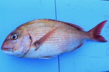 コマセ真鯛の仕掛けと釣り方・誘い方