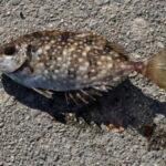 堤防で釣れる毒のある魚!知らないと危険!