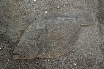 ヒラメ釣りの時期・時間帯