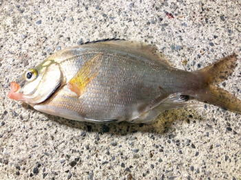 ウミタナゴ釣りの時期