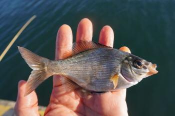 ウミタナゴ釣りの仕掛けと釣り方