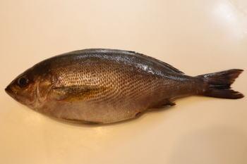 イサキのウキフカセ釣り仕掛けと釣り方【堤防 】