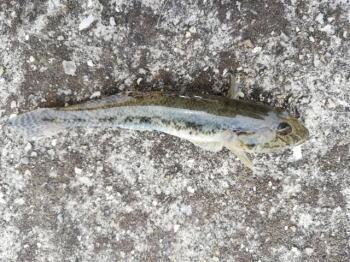 【ハゼ釣り】神奈川のポイントのおすすめ
